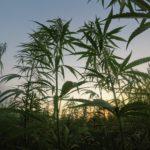 Cannabis Aktien und Kryptowährungen haben viel gemeinsam