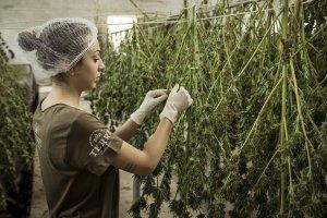 Cannabis Landwirtschaft