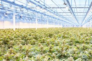 aurora cannabis 1