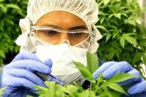 aurora cannabis 2